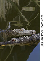 Two Alligators with Copy Space Above - Two alligators in...