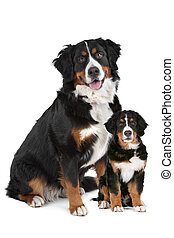 Bernese Mountain dog adult and puppy in front of a white...