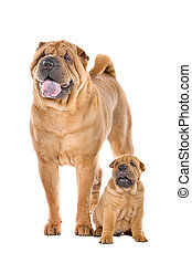 Chinese Shar Pei dog adult and puppy in front of a white...