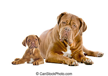 Dogue de Bordeaux adult and puppy in front of a white...
