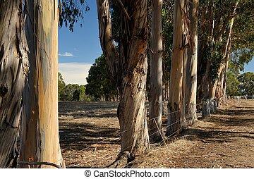 windbreak of Tasmanian Bluegums in dry pasture