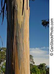 straight and streaky - streaked bark of Tasmanian Bluegum...