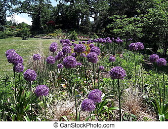 Toronto High Park Agapanthus 2009 - Agapanthus in High Park...