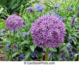 Toronto High Park Agapanthus and Cornflowers 2009 -...
