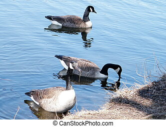 Toronto High Park geese on pond 2010 - Three Geese on...