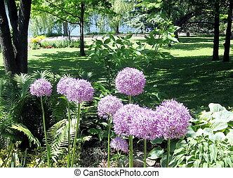 Toronto, púrpura, parque, alto,  Agapanthus,  2009