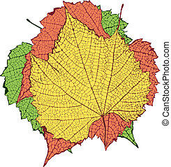 Vector drawing of leaf with detailed venation