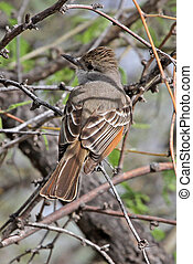 Ash-throated Flycatcher (Myiarchus cinerascens) in mesquite...