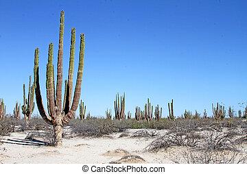 Giant Cardon Cactus, Baja - Giant Cardon Cactus Pachycereus...