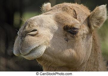 camels face - Camels face