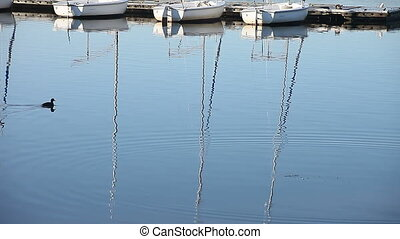 boats and coots - coots swim by reflections of sailboat...
