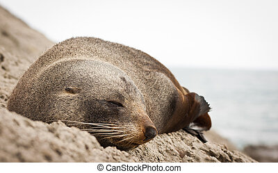 New Zealand fur seal - Close-up of a very cute sleeping New...
