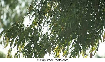 leaves of eucalyptus tree