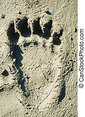 Grizzly bear track in soft mud. - Hind foot print of grizzly...