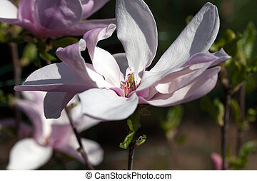 Magnolia flowers  in springtime