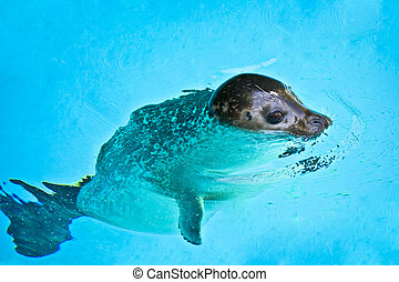 Beautiful young seal swimming