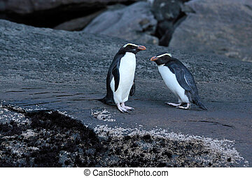 Fiordland Crested Penguin (Eudyptes pachyrhynchus) at the...