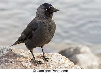 Western Jackdaw Corvus monedula - Western Jackdaw sitting on...