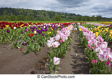 Tulips, Woodland WA - Tulips in a farm field Woodland, WA