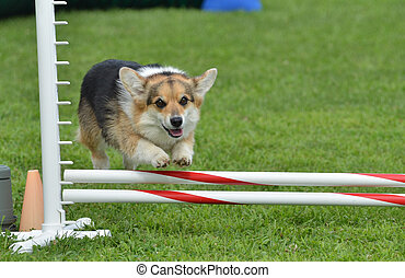 Pembroke Welsh Corgi at a Dog Agility Trial - Tricolor...