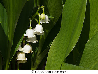 Lily of the Valley Flowers - tiny white lily of the valley...