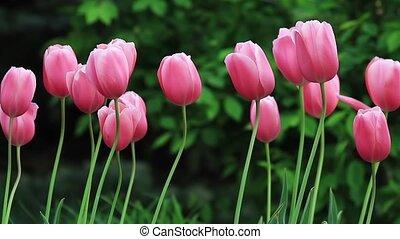 Pink Tulips in the Breeze Loop