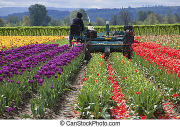 Harvesting tulips, Woodland WA - Harvesting tulips in a...