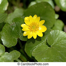 Small buttercup in grass - Small yellow buttercup in green...