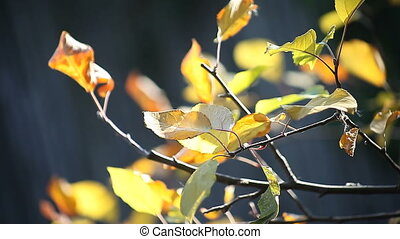 yellowing autumn leaves