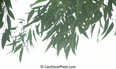 eucalyptus leaves background