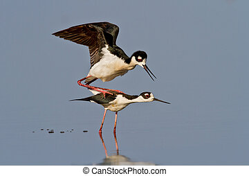 Black-necked Stilts - Pair of Black-necked Stilts preparing...