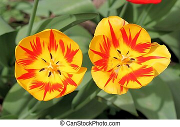 Tulipa Liliaceae - Beautiful Tulips From Holland.