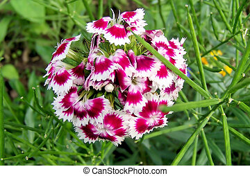 Sweet William- Dianthus Barbatus - One of the beautiful...