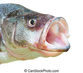Perch fish with open mouth - close-up isolated on white...