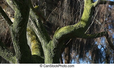 mossy tree in winter - leafless tree covered with moss
