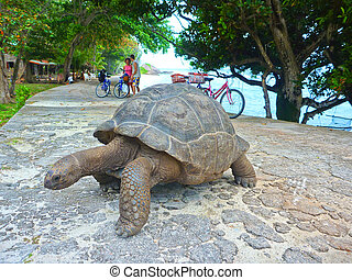 One Seychelles Giant Turtle - One Giant Turtle on...