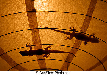 Geckos on a lampshade chase insects - PLAYA MADERAS,...