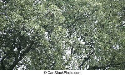oak tree in gusty winds - high winds whip through an oak...