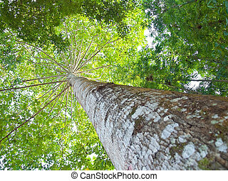 Tree branch - The expand of centenarian large and high tree...
