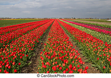 Tulip field in Holland - The field of bright red tulips in...