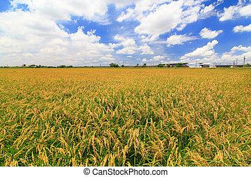 paddy rice field with blue sky and white cloud in the...