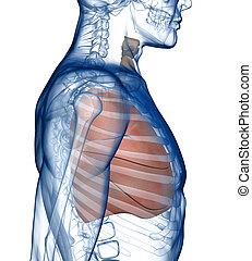 pulmões, Rib_Cage, lado