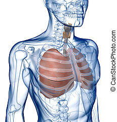 Pulmones, Rib_Cage, Three_Quarter