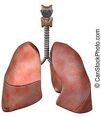pulmões, frente, vista