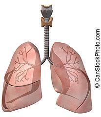 Pulmones, bronquios, frente