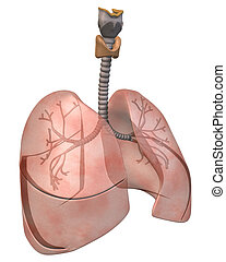 Lungs and Bronchi, Three_Quarter - 3D Rendering of the Human...