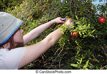 Israeli Farmers are Picking up Pomegranates - Israeli...