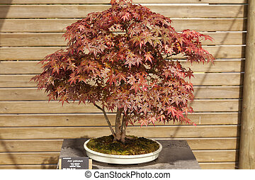 Acer palmatum bonsai - It is a shrub or small deciduous tree...