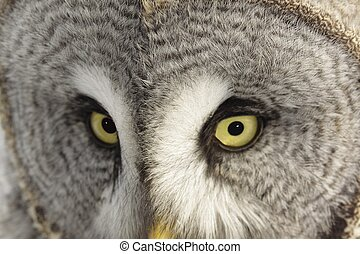 Great Grey Owl or Lapland Owl lat Strix nebulosa