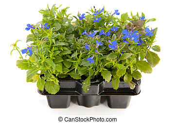 Sixpack blue Lobelia - sixpack blue Lobelia isolated over...